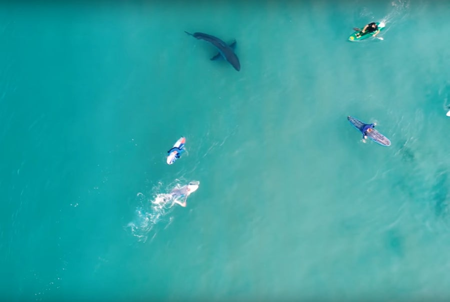 Great White shark Close to kayakers and swimmer