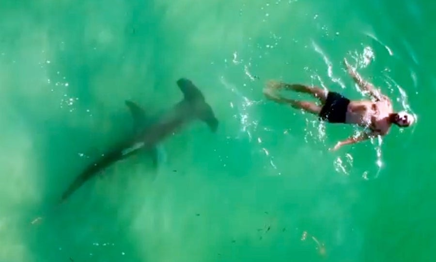 Hammerhead shark nearing swimmer
