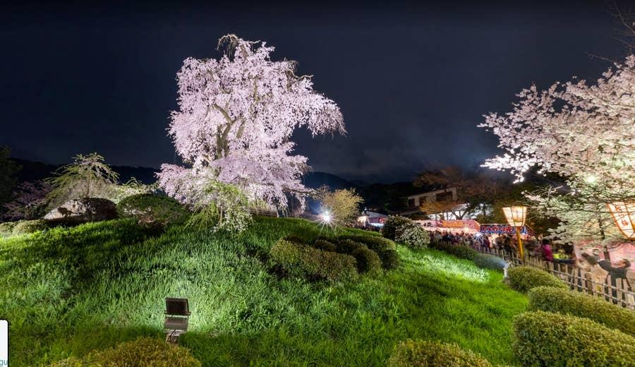 Japanese Cherry Blossom tree google street view