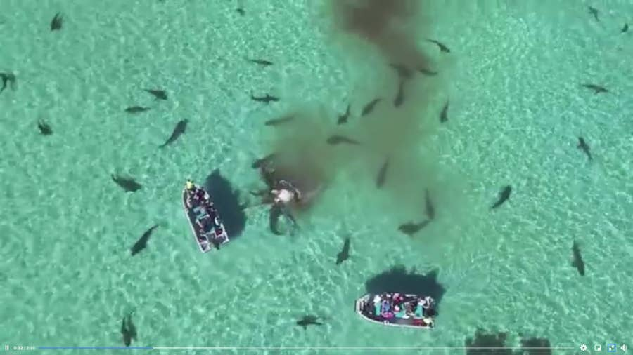 drone captures tiger sharks eating whale