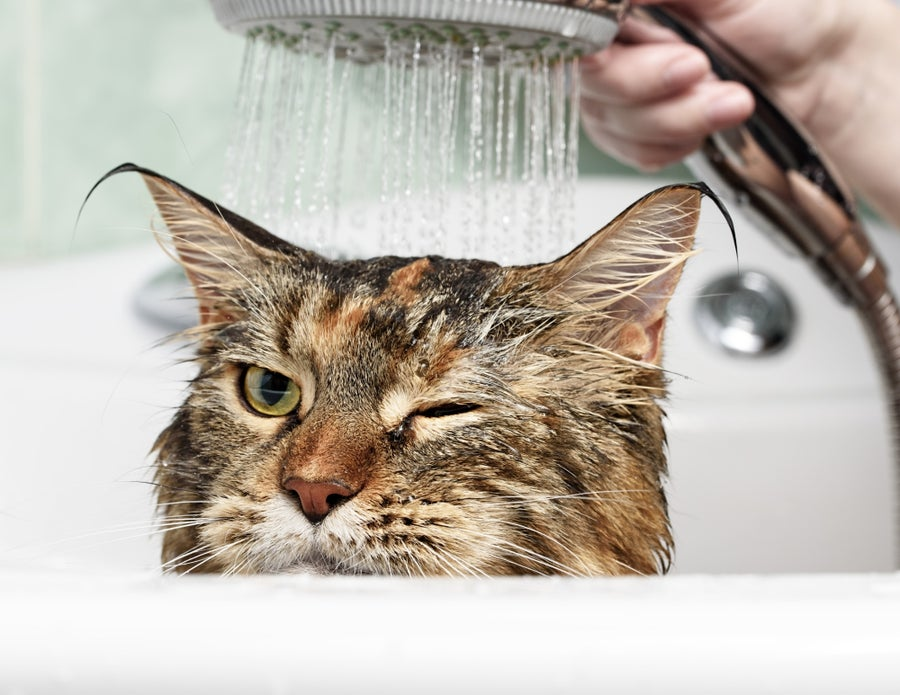 Bathing cat.