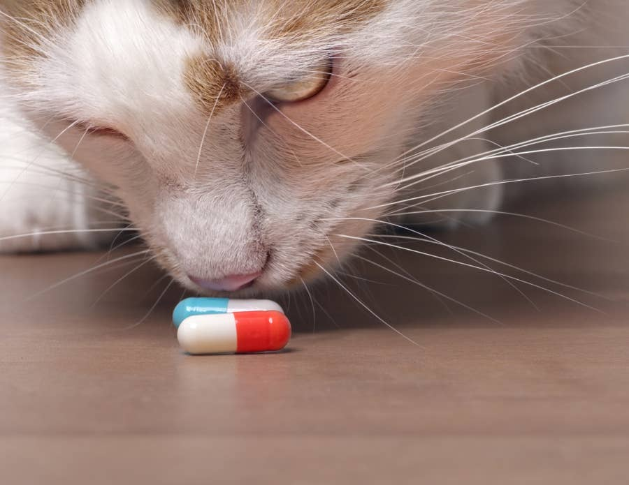 Cat sniffing pill.