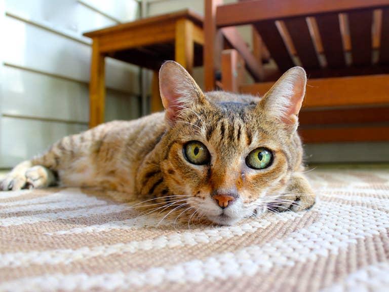 Cat on rug.